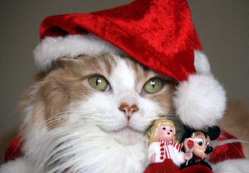 новогодняя шапка на кошке - новогодние картинки