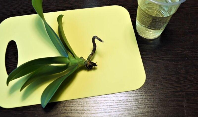 здоровый корень орхидеи