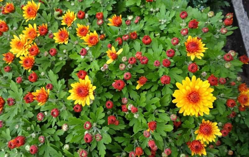 садовые многолетние хризантемы