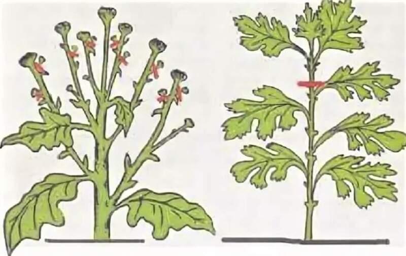 пасынкование хризантемы