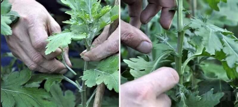 прищипывание хризантемы
