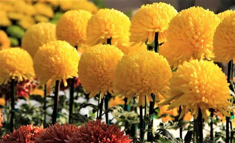 золотые шары цветов