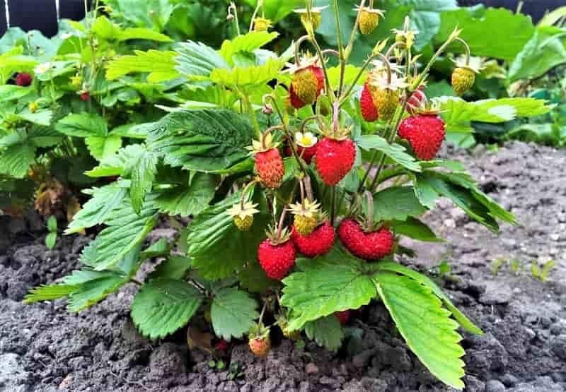 уход за растением с ягодами