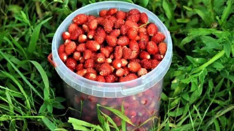 земляничные ягоды