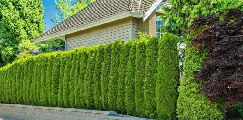 живая изгородь у дома