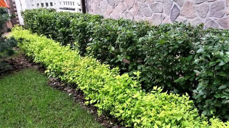 Живая изгородь — какие растения лучше посадить учитывая высоту