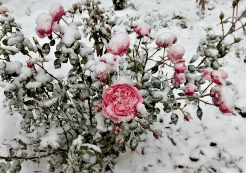 зимостойкие розы