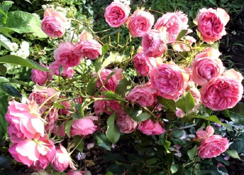 розы на кустах